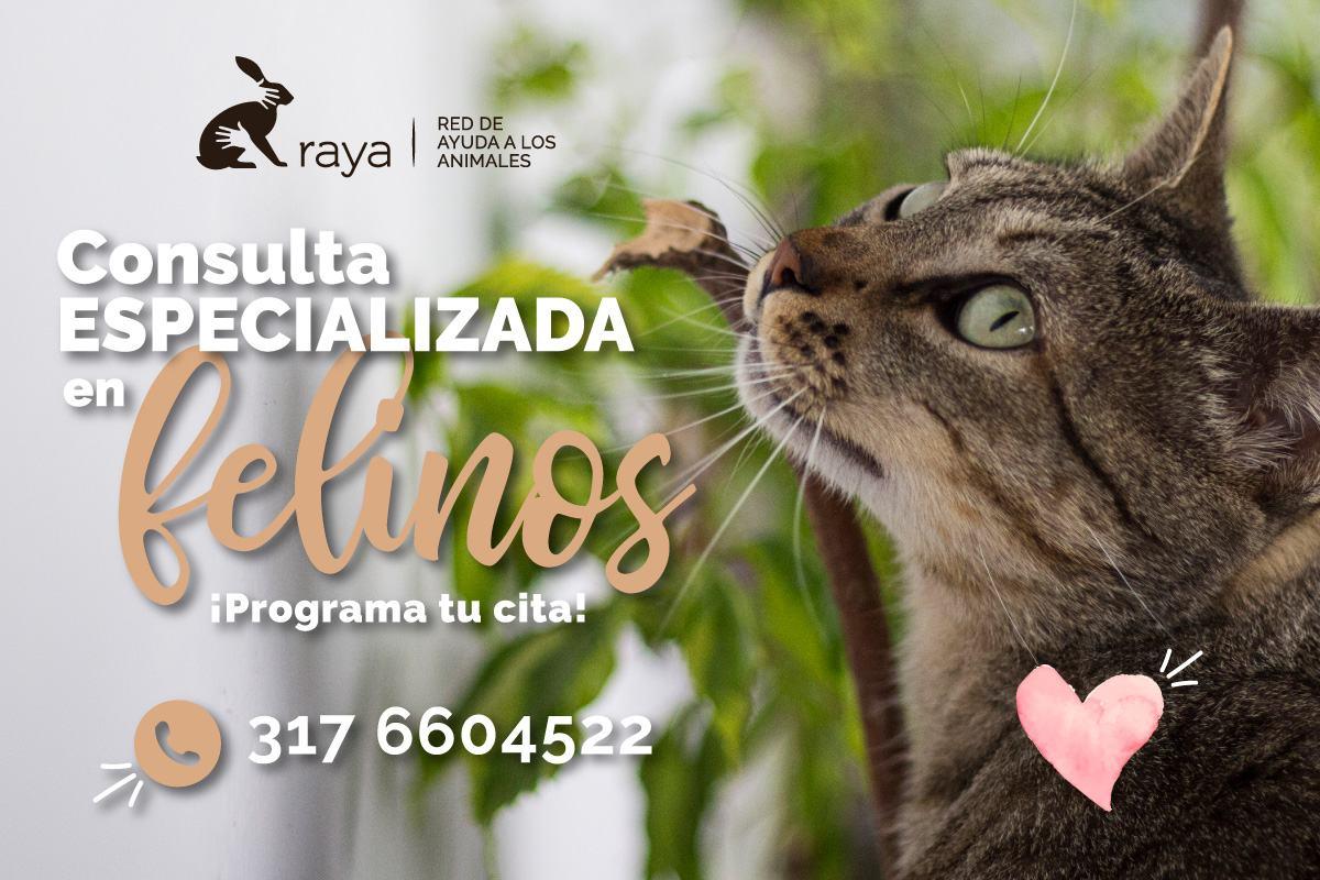 //www.corporacionraya.org/wp-content/uploads/2020/08/RAYA-Consulta-felinos-junio-2020-h.jpg